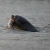 GiantOtter Pantanal_7I2B0091_10-09-28
