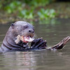 GiantOtter Pantanal_7I2B0169_10-09-28