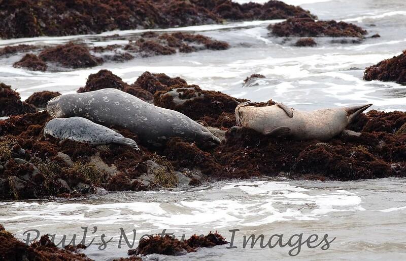 Harbor Seal Cambria_06-04-12_0-545970678-O