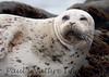 Harbor Seal Cambria_06-04-12_0-545970880-O