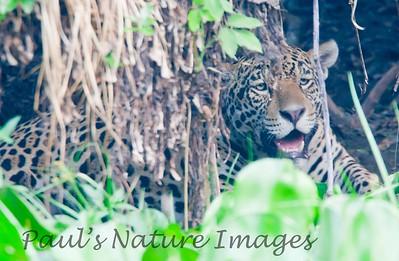 Jaguar CuiabaRv_7I2B9555_10-09-1085814952-O