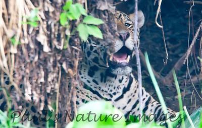 Jaguar CuiabaRv_7I2B9567_10-09-1085815728-O