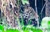 Jaguar CuiabaRv_7I2B9546_10-09-1085814266-O