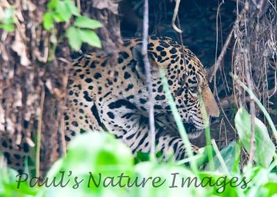 Jaguar CuiabaRv_7I2B9564_10-09-1085815296-O