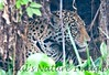 Jaguar CuiabaRv_7I2B9565_10-09-1085815424-O