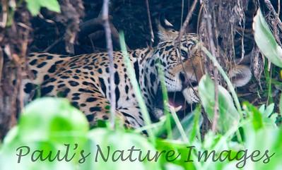 Jaguar CuiabaRv_7I2B9606_10-09-1085817571-O