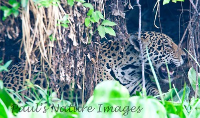 Jaguar CuiabaRv_7I2B9594_10-09-1085816894-O
