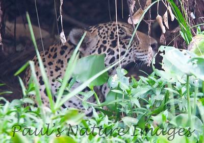 Jaguar CuiabaRv_7I2B9530_10-09-1085813781-O