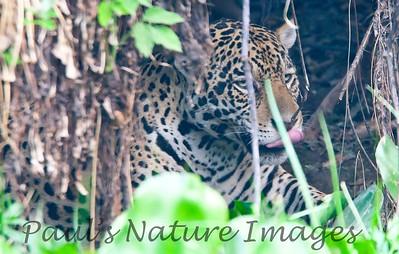 Jaguar CuiabaRv_7I2B9566_10-09-1085815587-O