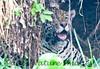 Jaguar CuiabaRv_7I2B9570_10-09-1085815908-O