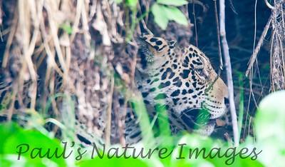 Jaguar CuiabaRv_7I2B9545_10-09-1085814158-O