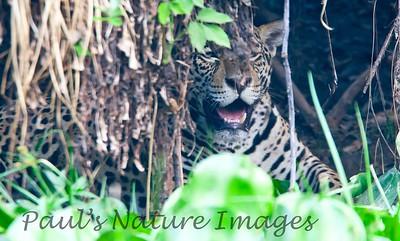 Jaguar CuiabaRv_7I2B9559_10-09-1085815136-O