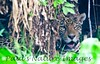 Jaguar CuiabaRv_7I2B9552_10-09-1085814642-O