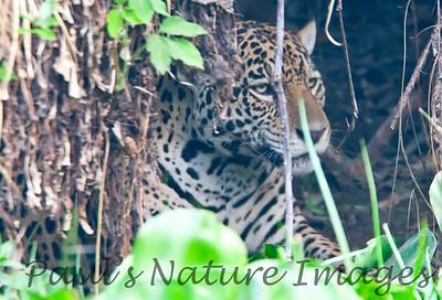 Jaguar CuiabaRv_7I2B9586_10-09-1085816539-O