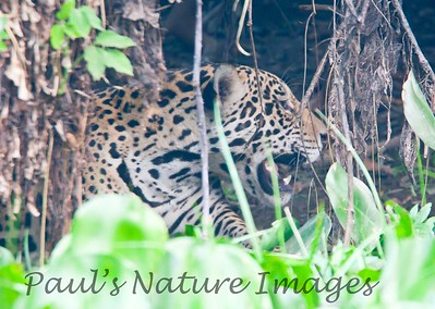 Jaguar CuiabaRv_7I2B9595_10-09-1085817052-O
