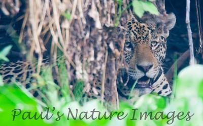 Jaguar CuiabaRv_7I2B9551_10-09-1085814499-O