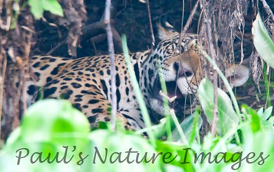 Jaguar CuiabaRv_7I2B9605_10-09-1085817469-O
