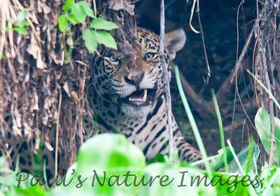 Jaguar CuiabaRv_7I2B9589_10-09-1085816716-O