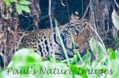 Jaguar CuiabaRv_7I2B9598_10-09-1085817163-O