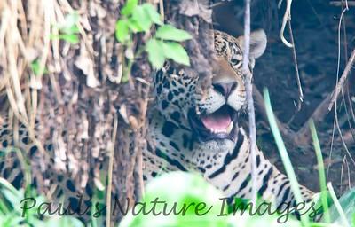 Jaguar CuiabaRv_7I2B9573_10-09-1085816043-O