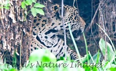 Jaguar CuiabaRv_7I2B9582_10-09-1085816458-O