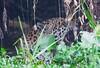 Jaguar CuiabaRv_7I2B9533_10-09-1085814054-O