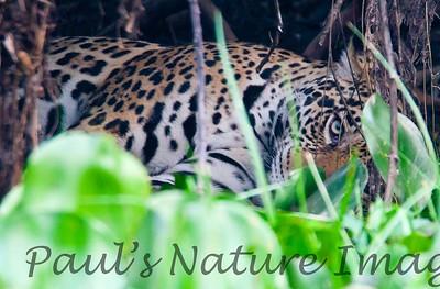 Jaguar CuiabaRv_7I2B9600_10-09-1085817372-O