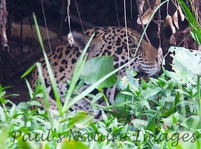 Jaguar CuiabaRv_7I2B9529_10-09-1085813628-O