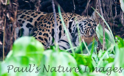 Jaguar CuiabaRv_7I2B9599_10-09-1085817266-O