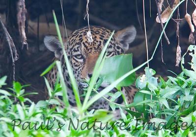 Jaguar CuiabaRv_7I2B9521_10-09-1085812815-O