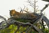 Leopard Kirkman_14-03-16__O6B2617