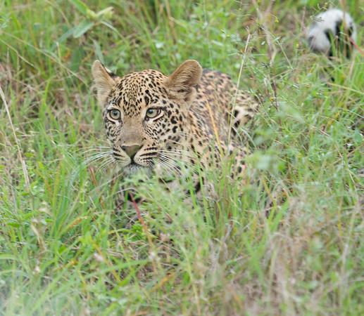 Leopard Kirkman_14-03-15__O6B2206