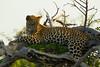 Leopard Kirkman_14-03-16__O6B2616