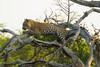 Leopard Kirkman_14-03-16__O6B2596