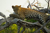 Leopard Kirkman_14-03-16__O6B2605