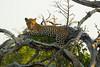 Leopard Kirkman_14-03-16__O6B2613