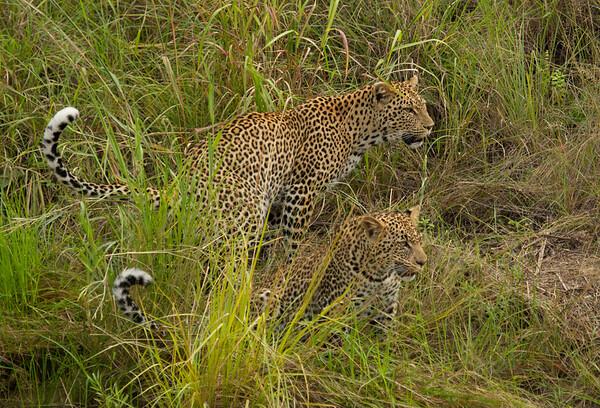 Leopard Ngala_14-03-19__O6B3357