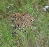 Leopard Kirkman_14-03-15__O6B2208