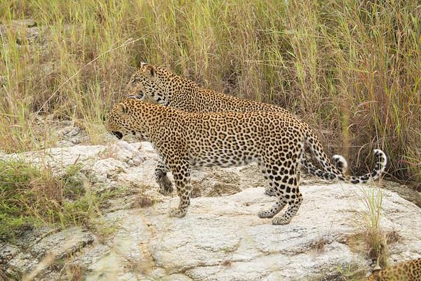 Leopard Ngala_14-03-19__O6B3321