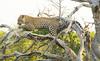 Leopard Kirkman_14-03-16__O6B2589