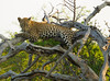Leopard Kirkman_14-03-16__O6B2597