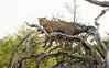 Leopard Kirkman_14-03-16__O6B2579