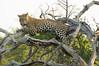 Leopard Kirkman_14-03-16__O6B2595
