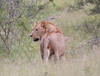 Lion Ngala_14-03-18__O6B3053