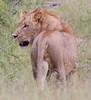 Lion Ngala_14-03-18__O6B3054