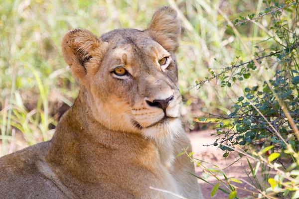 Lion Kirkman_14-03-16__O6B2353