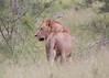 Lion Ngala_14-03-18__O6B3052