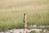 Meerkats MakgadikgadiPans_14-03-09__O6B1725