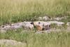 Meerkats MakgadikgadiPans_14-03-09__O6B1711