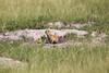 Meerkats MakgadikgadiPans_14-03-09__O6B1715